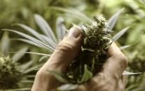 Juan Palese, a marijuana grower, shows his crop outside of Montevideo, Uruguay, Wednesday, Dic. 18, 2013. (AP Photo/Matilde Campodonico).