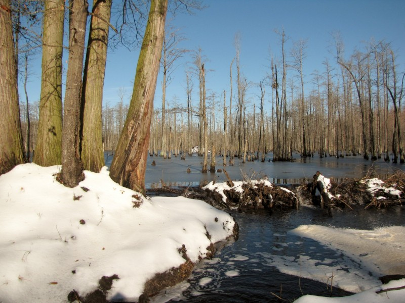 File: A beaver dam in winter in North Carolina's Robeson County. (Gerry Dincher / Flickr)
