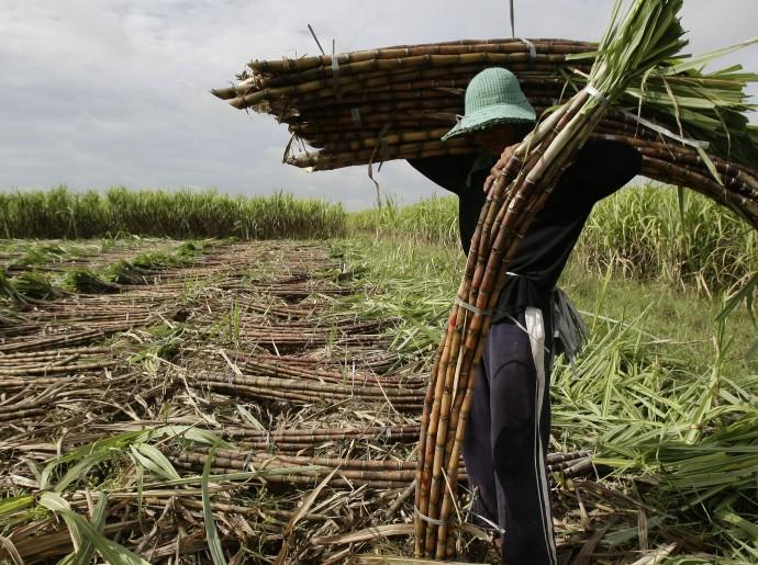 Cambodia Sugar Cane