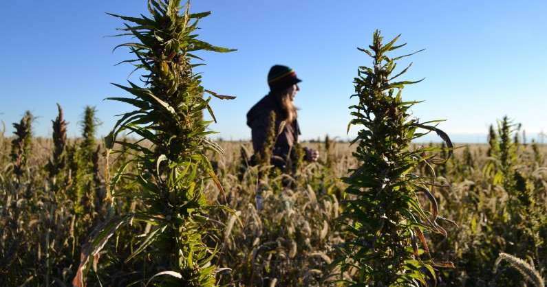 In this Oct. 5, 2013 photo, a volunteer walks through a hemp field at a farm in Springfield, Colo. during the first known harvest of industrial hemp in the U.S. since the 1950s. (AP Photo/P. Solomon Banda)