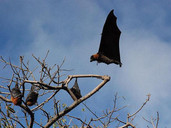 100,000 bats dead after heatwave in Australia