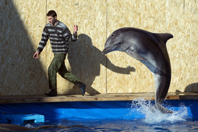 An employee of the Sevastopol State Oceanarium trains a dolphin, in Sevastopol, Crimea, Sunday, March 30, 2014. A Soviet-era military program training dolphins and seals for combat will be revived in Crimea after its annexation by Russia, according to Russian state media. (AP Photo/Pavel Golovkin)