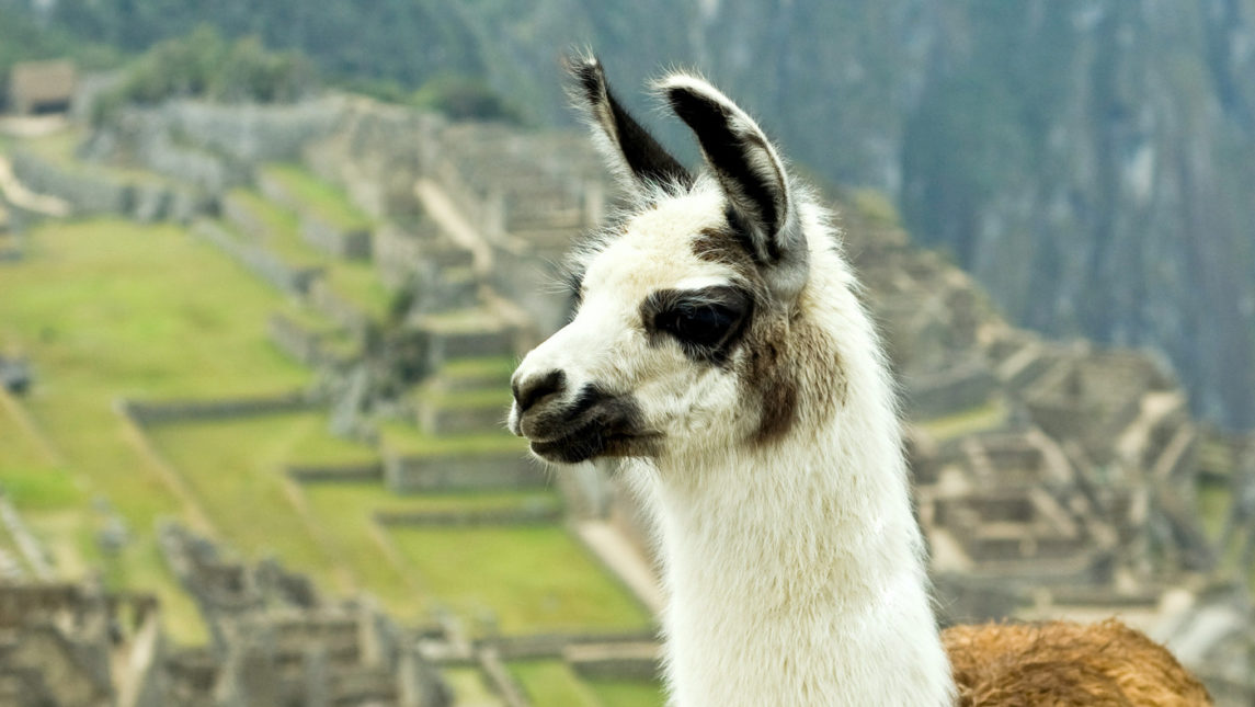 Scientists Hope An AIDS Vaccine Lies In Llamas