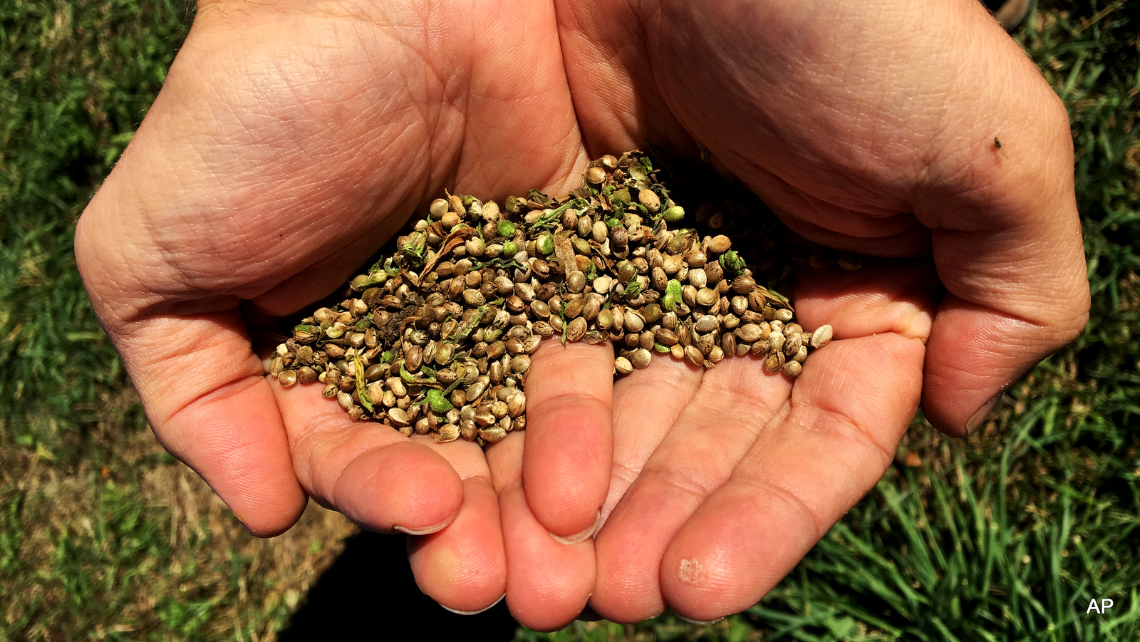 This Sept. 25, 2016 photo, shows seeds from the first legal crop of industrial hemp grown on JD Farms in Eaton, N.Y.