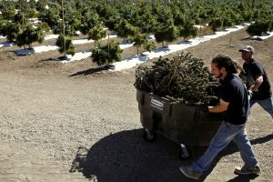 Farmworkers transport newly-harvested marijuana plants, at Los Suenos Farms, America's largest legal open air marijuana farm, in Avondale, southern Colorado, Oct. 4, 2016. (AP/Brennan Linsley, File)