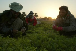 From left, farmers Mehdi Jassim, Jassim Omran and Hassan Hassin work in a farm field at dawn in Baghdad, Iraq. (AP Photo/Khalid Mohammed)