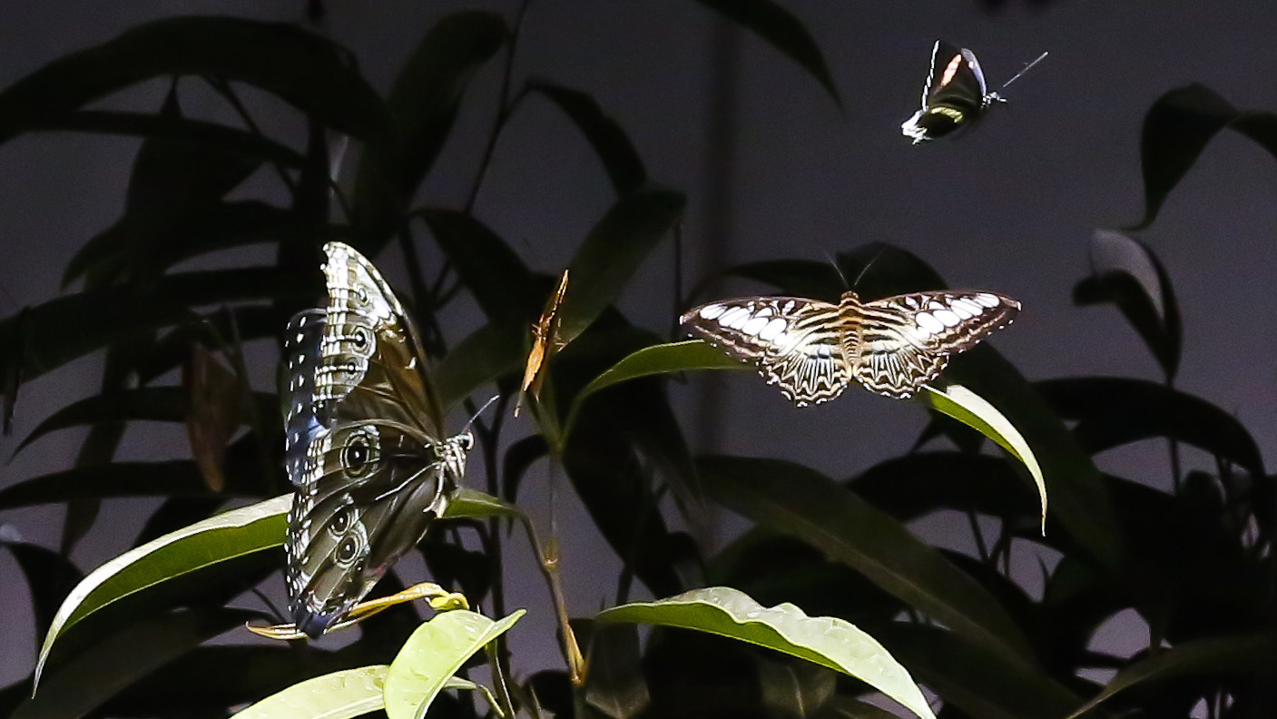 Butterflies fly around in the Butterfly Conservatory at the American Museum of Natural History, Oct. 4, 2017, in New York. (AP/Bebeto Matthews)